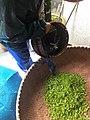 Longjing tea 17.jpg