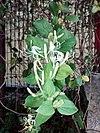 Lonicera japonica - Ιαπωνικό αγιόκλημα.jpg