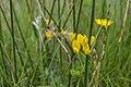 Lotus pedunculatus, Slufter, isle Texel (21570817508).jpg