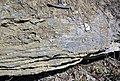 Lower Mercer Limestone (Middle Pennsylvanian; Clay Pit Road Outcrop, Muskingum County, Ohio, USA) 6 (32948028711).jpg