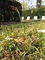 Luzula campestris sl38.jpg