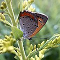 Lycaena phlaeas on the grass.jpg