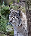 Lynx 1d (5512115035).jpg