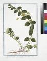 Lysimachia humifusa, folio rotundiore, flore luteo -Corneille. (Loosestrife) (NYPL b14444147-1125074).tiff