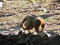 Macaco-prego-galego2.JPG