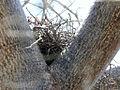 Madagascar Buzzard nest RWD.jpg