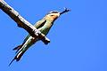 Madagascar olive bee-eater merops superciliosus.jpg