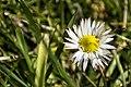 Madelief - Bellis perennis - Daisy (Explore) (25777425265).jpg