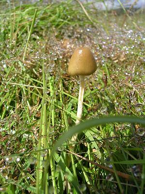 Magic Mushroom (Psilocybe semilanceata) or 'Li...