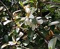 Magnolia dianica01.jpg