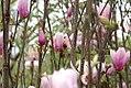 Magnolia liliflora Ann 4zz.jpg