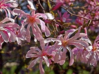 Magnolia × loebneri - Flowers of Magnolia × loebneri 'Leonard Messel' at Burcina Park, Biella, Italy
