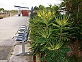Mahonia bush in flower, Newquay railway station - geograph.org.uk - 1548467.jpg