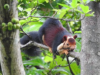 Indian giant squirrel - Malabar Giant Squirrel taken in Athirappilly Falls, Kerala