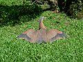 Malayan night heron wings spread out.jpg
