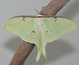 Male Luna Moth, Megan McCarty141.jpg