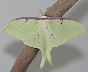 English: Male Luna Moth (Actias luna)