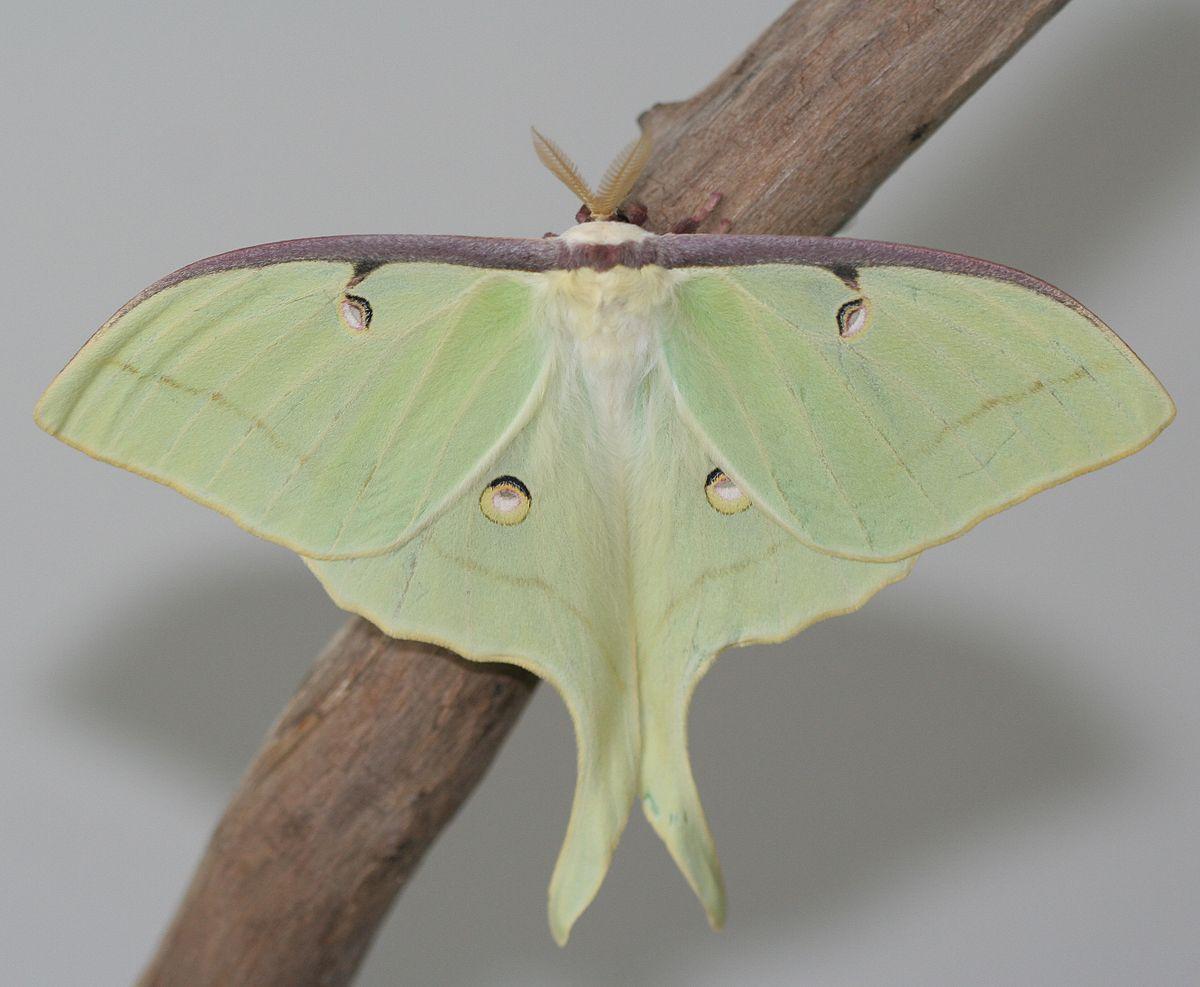 adult luna moth