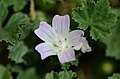 Malva neglecta (7408730716).jpg