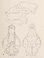 Mammals of northern Alaska on the Arctic slope (1956) Ursus americanus californiensis skull.png