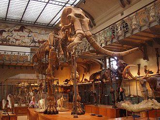Elephantidae - Skeleton of Mammuthus meridionalis at MNHN
