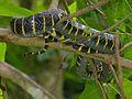 Mangrove Snake (Boiga dendrophila annectens) (8080219769).jpg