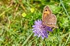 Maniola jurtina female on Knautia arvensis 2019-09-01 11-16.jpg