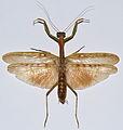 Mantis (Polyspilota aeruginosa) (8562887038).jpg