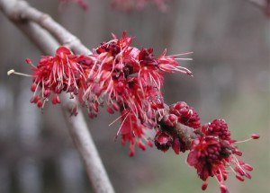 Maple - Acer rubrum (Red maple) flowers