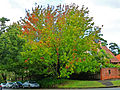 Maple tree, Russell Avenue and Trafalgar Avenue, Lindfield, New South Wales (2011-04-28).jpg