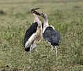 Marabou Stork Fighting.jpg