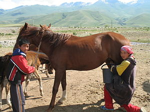 Kumis - A mare being milked in Suusamyr valley, Kyrgyzstan