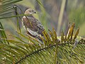 Marsh harrier-kattampally - 4.jpg