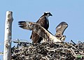 Maryland georgetown ospreys thegrana (17694928080).jpg