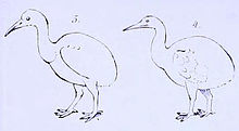 A line drawing of two flightless birds, each with an ovoid body, long neck and pointed beak