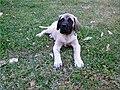 Mastiff Pup.jpg