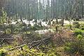 Mazowiecki Park Krajobrazowy - Las brzozowy zamienia się w torfowisko wysokie.jpeg