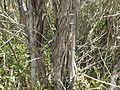 Melaleuca flavovirens bark.jpg