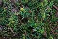 Melilotus indicus plant (01).jpg