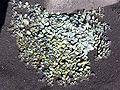 Mertensia maritima 5.jpg