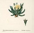 Mesembryanthemum calamiforme.png