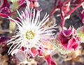 Mesembryanthemum crystallinum kz1.JPG