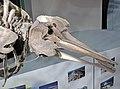 Mesoplodon mirus (True's beaked whale) 8 (30400755173).jpg