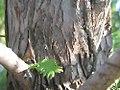 Metasequoia glyptostroboides Dawn Redwood 1zz.jpg