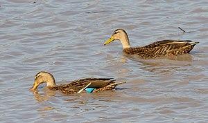 Mexican duck - Male (L), Female (R), San Miguel de Allende, Guanajuato, Mexico