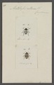Micrerotylus - Print - Iconographia Zoologica - Special Collections University of Amsterdam - UBAINV0274 037 05 0009.tif