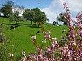 Milchkühe im Frühling auf der Weide.JPG