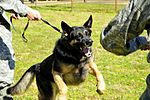 Military Working Dogs DVIDS257994.jpg