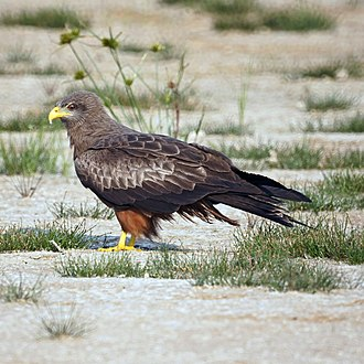 Yellow-billed kite - Adult in Limpopo, South Africa