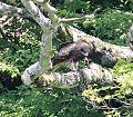 Milvus migrans lineatus eating Rhacophorus arboreus s2.jpg